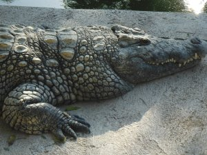 A crocodile not swimming at Torremolinos Crocodile Park!