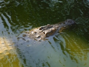 A nile crocodile swimming in the crocodile park, Torremolinos.