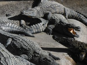 Heaps of crocodiles