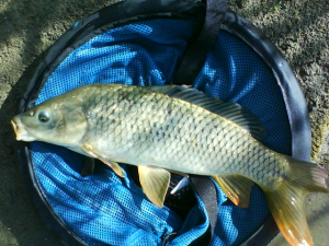 "Carp like these are often ""shadowed"" by others while they are being played"