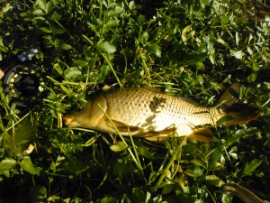 One of the carp