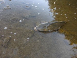 The carp is finally beached!