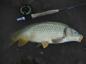 This is as big a carp as I have taken from the Guadalhorce
