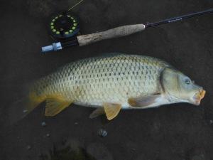 A beautiful carp
