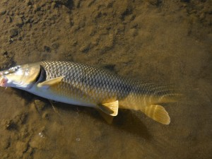 A gypsy barbel beached in the shallows where it can be returned with the minimum of contact.