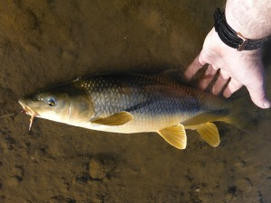 One of the better barbel