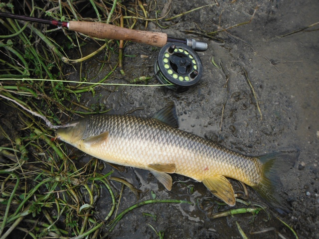 The first barbel