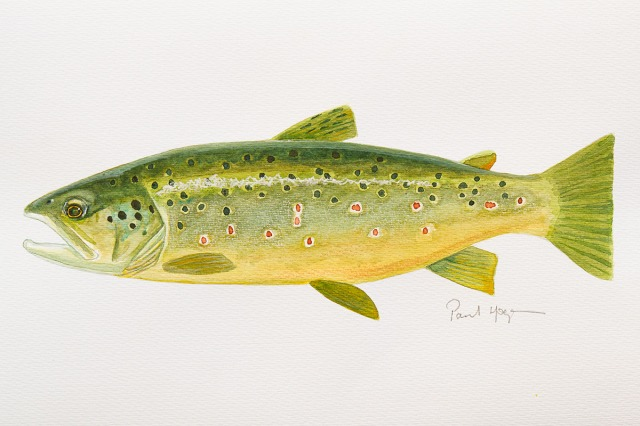 Mark´s trout