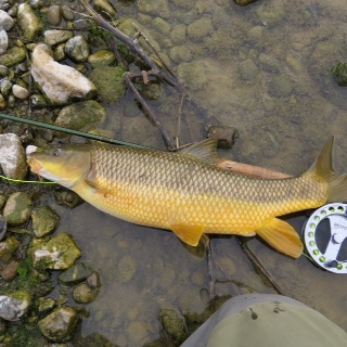 This is Harry´s big barbel which he took on a floating ant