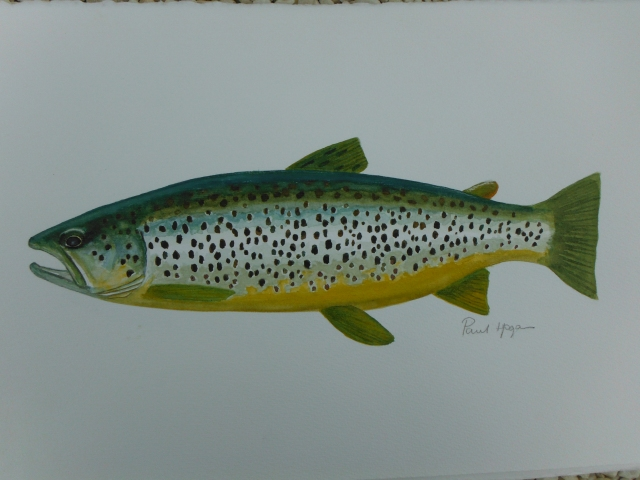Lough Arrow trout - I have been trying to catch one of these things but without success!