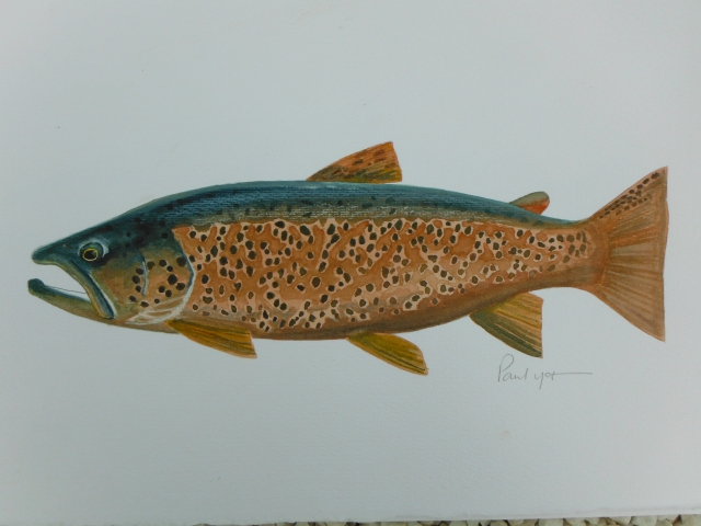 This is a picture of a large brown trout which was taken in the Cong Canal where large fish from Lough Mask enter around spawning time.
