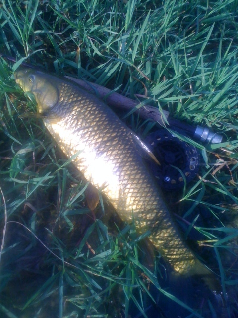 This is a typical fish from Barry´s pool. I took a couple there on on Sunday morning. There are bigger on in there though