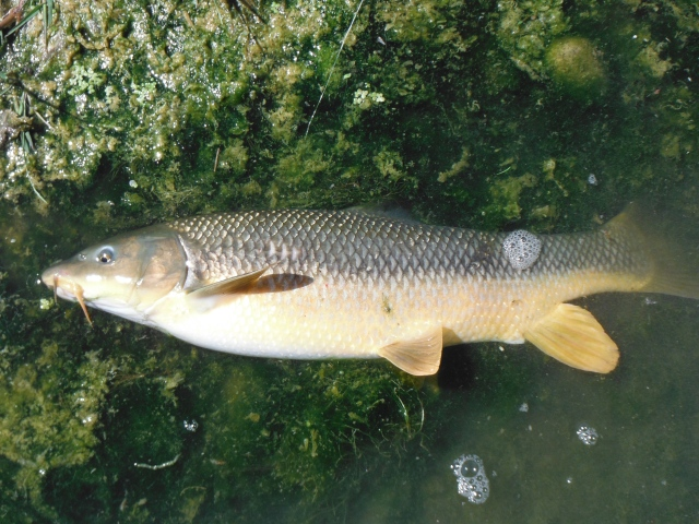 Simon´s barbel