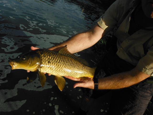 A lovely Guadalhorce carp.