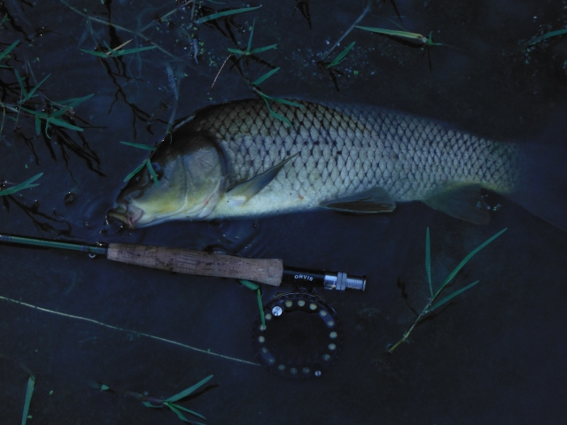 This carp, like the first, was actively feeding in shallow water with a reasonable current.