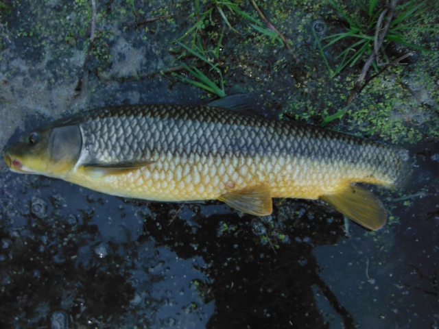 I fooled this one with an unweighted nymph. This is a pretty typical gipsy barbel from this river. It weighs around two pounds.