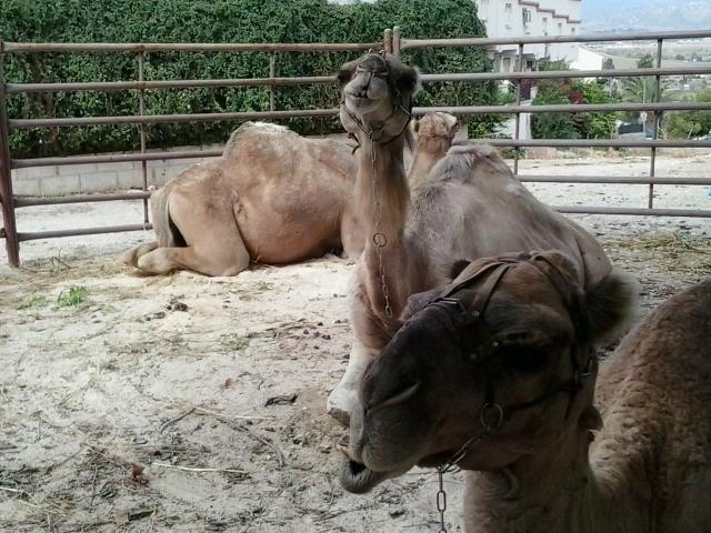 Camels in Cártama