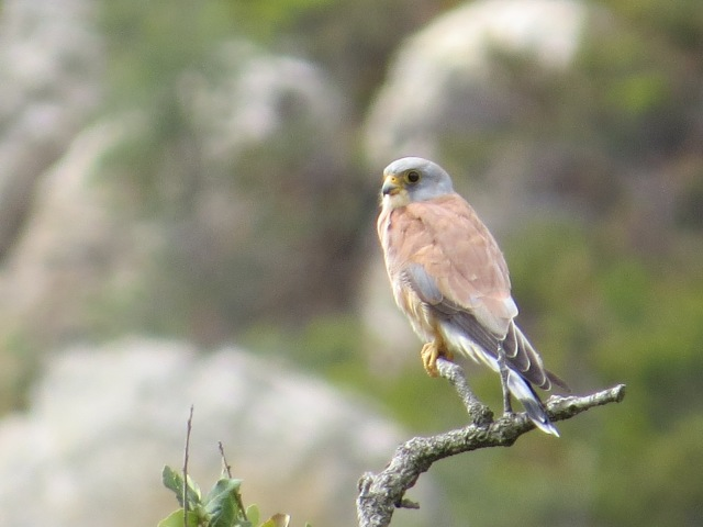 This is another of Harry´s photos but it is not a nightjar. It is a lesser kestrel - a bird of southern Erope which, like the nightjar, is predominantly an insect feeder. The insects may be taken on the ground or on the wing.
