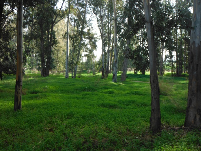 It is beautiful here. Just beside the river here are groves of eukalyptus trees.