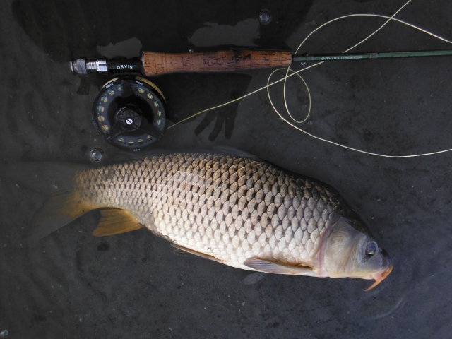 This was the best of three carp. I hooked one which I think was much bigger but it came off!