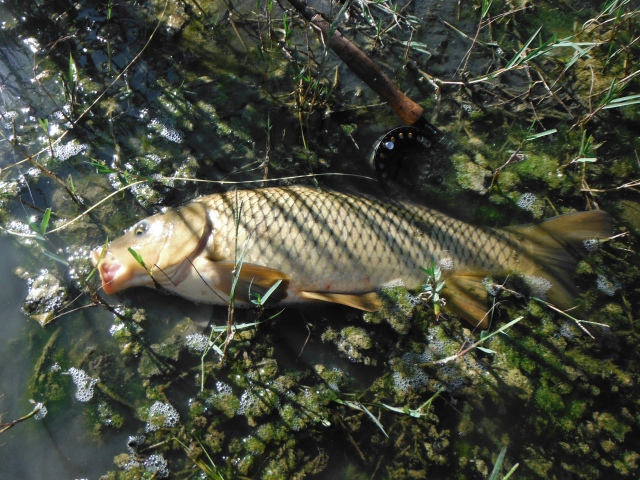 I was delighted with this lovely carp. It took the same little nymph (size 14) as the barbel. It was closely shadowed throughout the fight by a companion fish of almost exactly the same size.