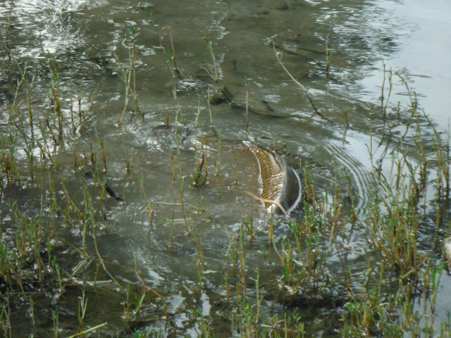 Often carp will feed in water too shallow for them to swim in!