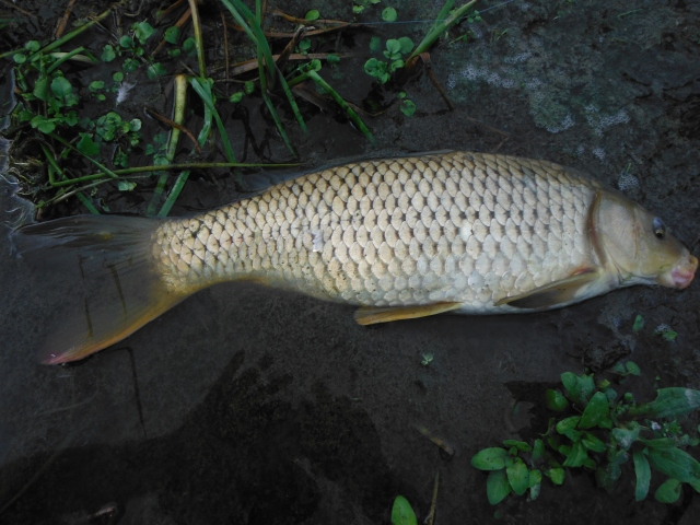 The carp in this river often seem to have an orange lower margin on the tail fin. This was my only carp of the day.