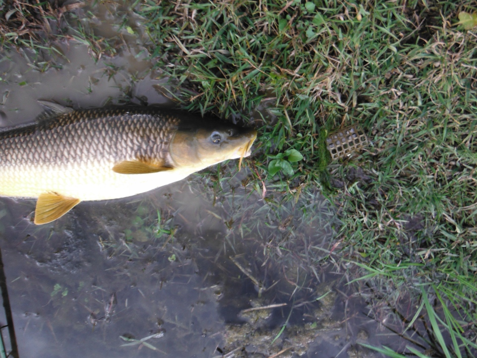 Here is the fish and, on the right, the swim feeder to which it was attached by a short length of line.