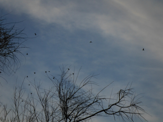 I don´t know how many ravens there were but I counted around 40.