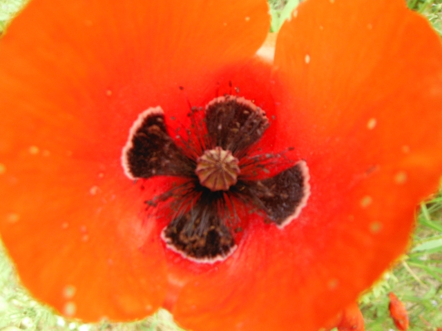 A nice-looking poppy.