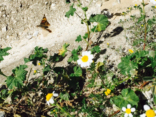 Butterfly. Pippa´s picture. 7/10