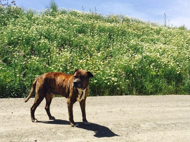 """A portrait of Brutus """"chien et fleurs"""" Pippa 7/10"""