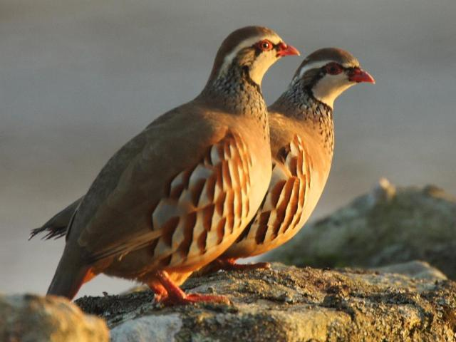 I found this lovely picture on this site: http://galleryhip.com/partridge.html