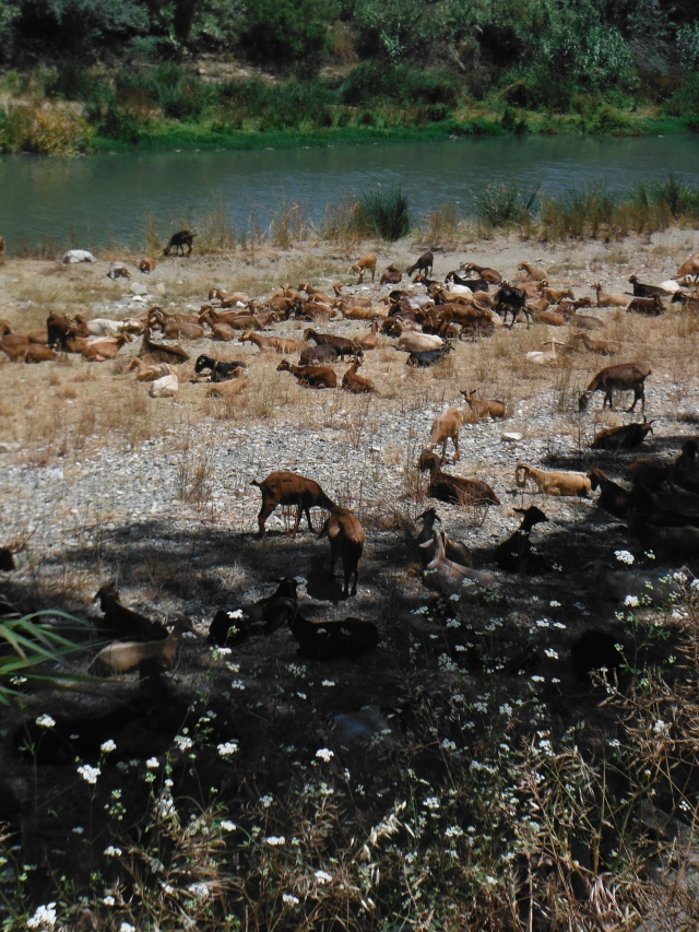 When I arrived at the river the goat were just chilling.