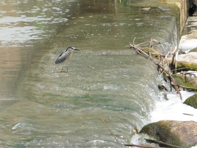 The night heron (Nyctocorax nictocorax)