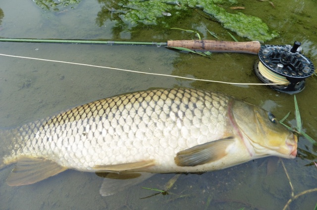 And here is the carp. It was as strong as an ox.
