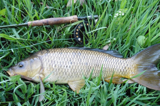 This carp is no monster but he was quite a handful with snags around. Look at the great big tail he has!