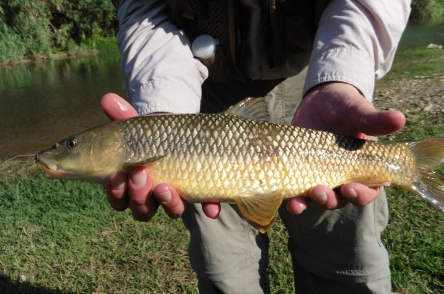 This gypsy barbel is a male. The distinctive tubercles on the head are still visible. They are very prominent in the spawning season and will soon disappear.