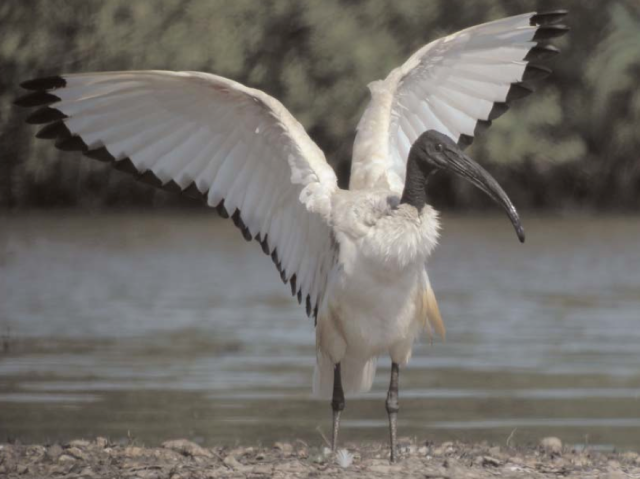 This picture of a sacred ibis was taken in France. I pinched it from this site: http://www.birdingworld.co.uk/images/SacredIbises.pdf