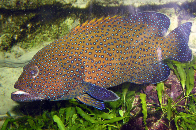 Blue-spotted grouper. I pinched this one from: http://es.wikipedia.org/wiki/Epinephelinae