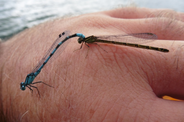 "Here are a couple of damselflies enjoying a bit of ""slap and tickle"" on my hand."