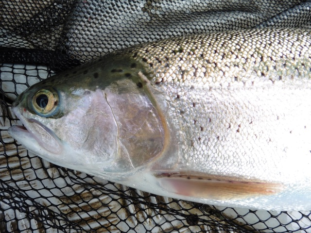 This is my first legitimate Rutland trout. It took a hare´s ear nymph
