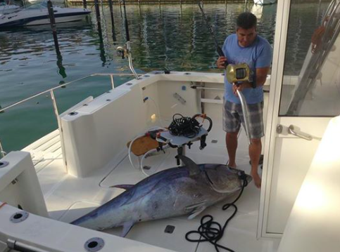 A little closer to home - the big bluefin tuna taken by Steven Lawler´s neighbour.