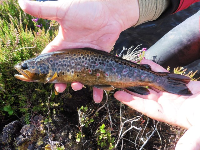 This lovely trout is no giant but for a lough like this one it is a good fish