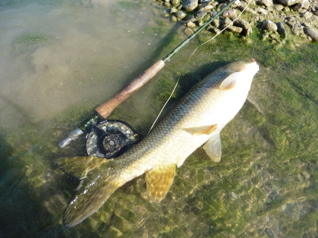 This fish was hooked in the shallows at the head of a long run. It turned in the current and before I knew it I was looking at my backing and this fish was splashing about 35 metres away! Thankfully I managed to keep it out of snags and land it downstream in the slower flows.