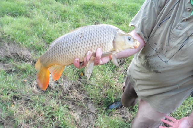 The orange colour on the tail and anal fin is very distinctive on this fish.