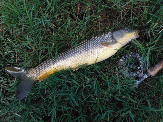 This is one of a couple of gypsy barbel taken before the crowds descended!