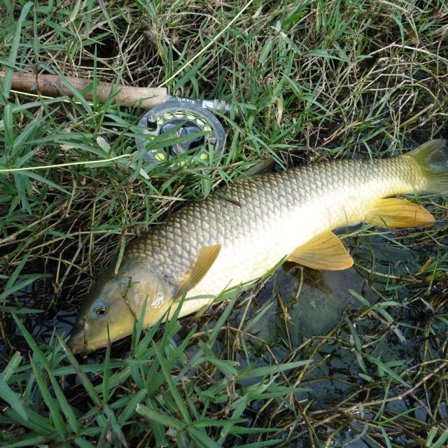 The first of the year! further downstream I managed to catch a carp and another 8 gypsy barbel.