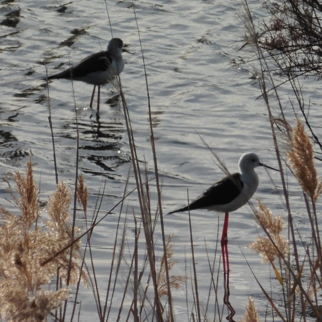 Black-winged stilts have, in proportion to their size, enormously long legs but they don´t have very long necks. So, even though they can wade out to a respectable depth, they feed on insects and stuff right in the surface film.