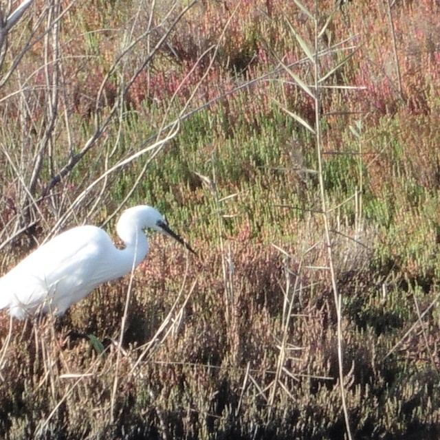 A little egret hunting for some food.